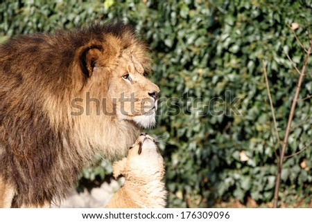 Lion cub asking - Dad do you love me - as it nuzzles the chin of a handsome male lion with a full mane standing in profile against greenery - stock photo