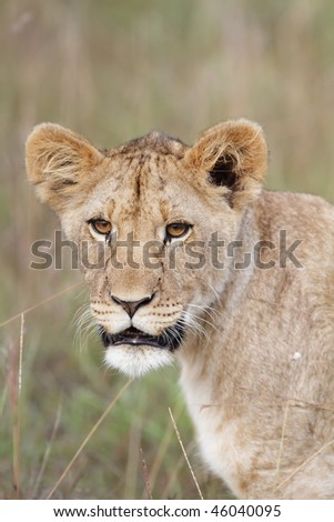 Lion cub close up