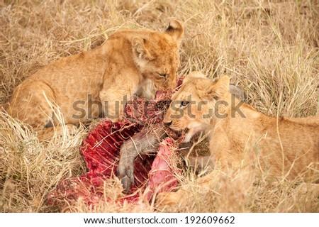 Lion cub eating, Serengeti National Park, Tanzania - stock photo