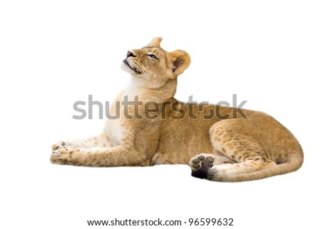 Lion cub - isolated on white background - stock photo
