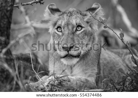 Lion cub looking up in black and white in the Kruger National Park, South Africa.