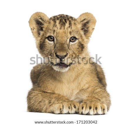 Lion cub lying, looking at the camera, 10 weeks old, isolated on white - stock photo