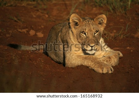 Lion cub on red soil - stock photo