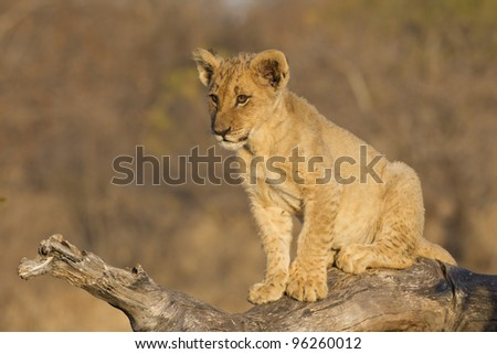Lion cub (Panthera leo) on dead log, South Africa - stock photo