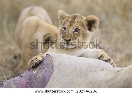 Lion cub playing with eland kill, Masai Mara National Reserve, Kenya - stock photo