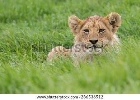 Lion cub poking his head up in grass.