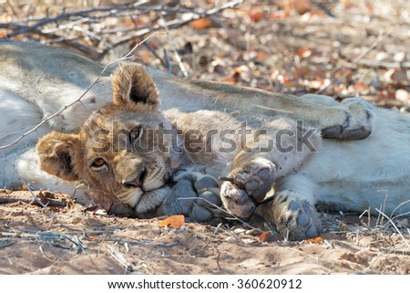 Lion cub resting between the legs of its mother before sunset in Ongava Game Reserve bordering Etosha National Park, Namibia (shallow DOF)