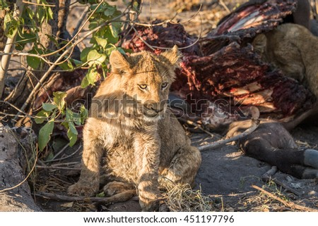Lion cub sitting next to a Buffalo carcass in the Kruger National Park, South Africa.