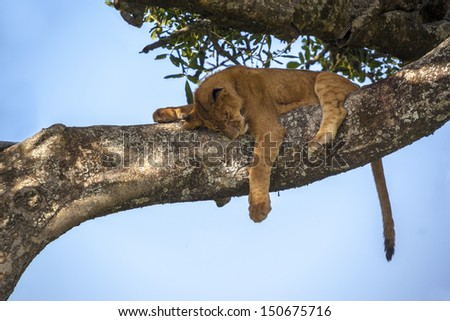 Lion cub sitting on a branch - stock photo