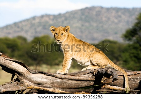 Lion cub sitting on a branch looking at the camera