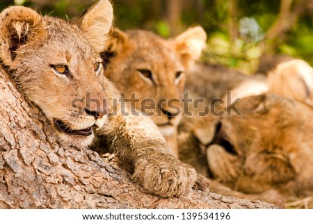 Lion cub with pride - stock photo