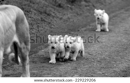 Lion cubs following their mother in black and white - stock photo