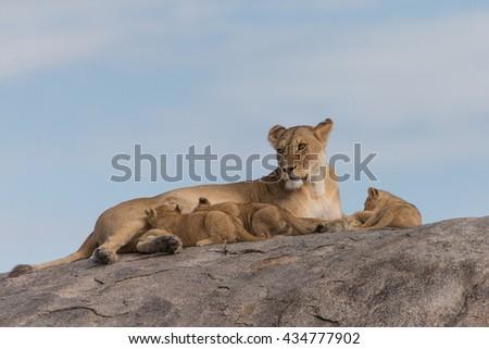 Lion Cubs in Serengeti Grassland Tanzania - stock photo