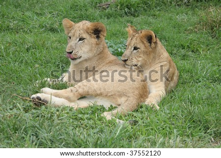 Lion cubs lying down in the sun - stock photo
