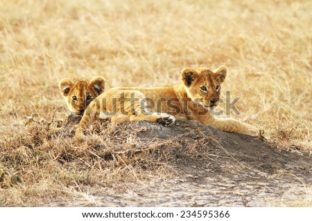 Lion cubs (Panthera leo) on the Masai Mara National Reserve safari in southwestern Kenya. - stock photo