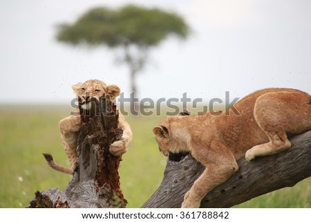 Lion Cubs playing on a tree limb in the Serengeti National Preserve - stock photo