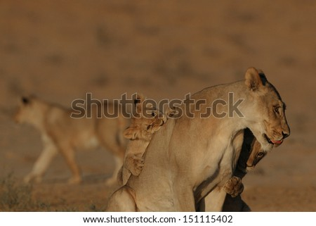 Lion cubs playing with lioness - stock photo
