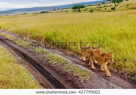 Lion cubs walking on the road in Masai Mara reserve. Kenya, Africa - stock photo