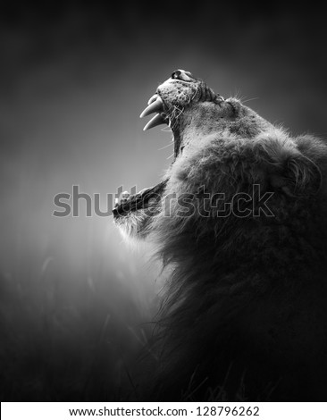 Lion displays dangerous teeth - Kruger National Park - South Africa - stock photo