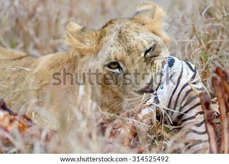 Lion eating a zebra, National park of Kenya, Africa - stock photo