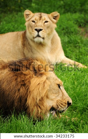 Lion eating some meat and lioness watching - stock photo