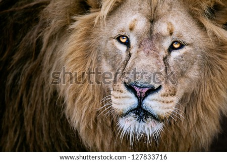 Lion extreme close up - stock photo