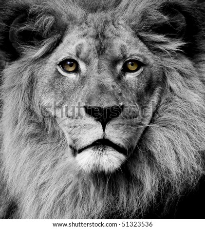 Lion eyes - stock photo