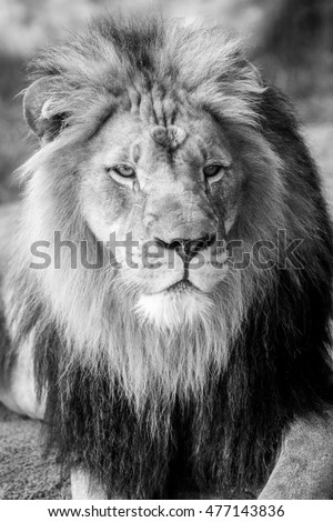 Lion Face with Large Mane - Black and White