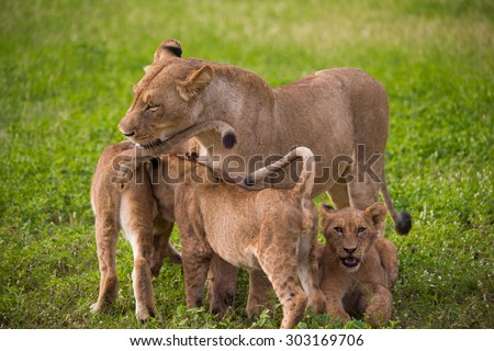 Lion family e Saby Sand Game Reserve South Africa - stock photo