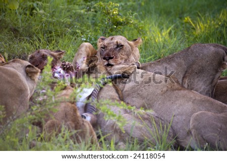 Lion family eating their prey