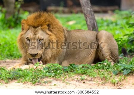 lion feeding on the mountain. - stock photo