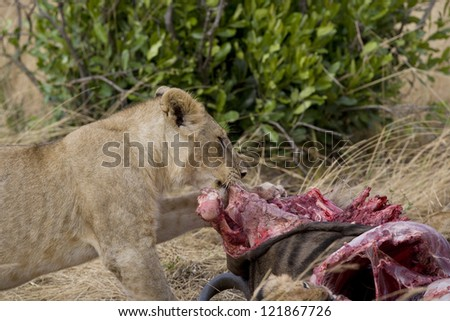 Lion feeds on wildebeest carcass in the Masai Mara - stock photo