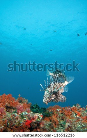 Lion fish swims close to a coral reef covered in coral and sponges