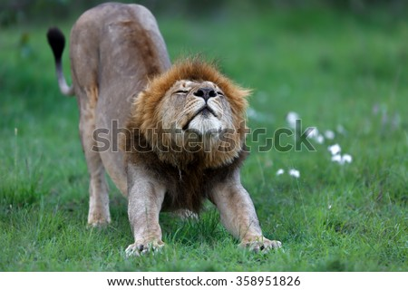 Lion from Rekero Pride just woke up and stretching in the blooming Masai Mara, Kenya - stock photo