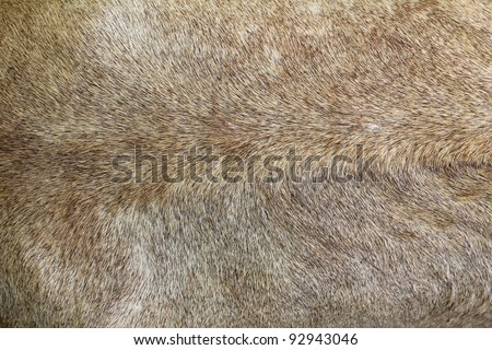 Lion fur background - stock photo