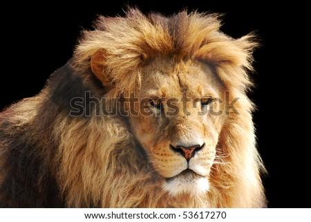 lion head - stock photo