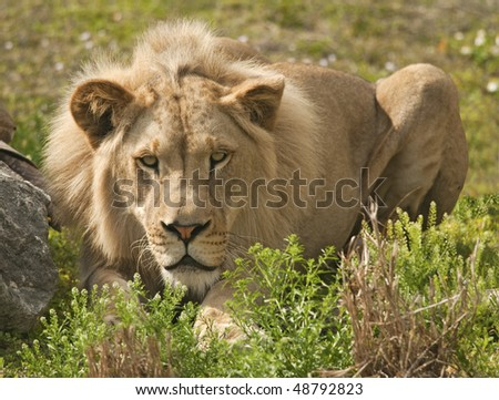 Lion Hiding and Stalking Prey - stock photo
