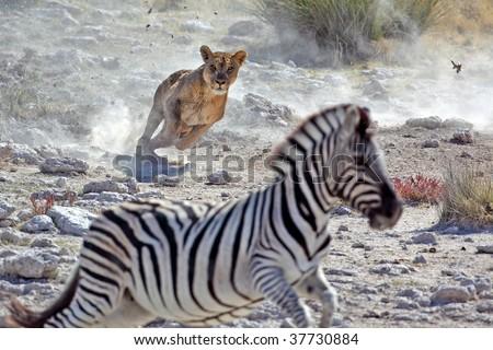 Lion hunting zebra - stock photo