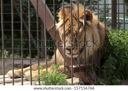 Lion in a zoo cage dreams of freedom - stock photo