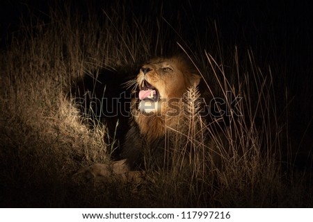 Lion in bush at night near Kruger National Park - stock photo