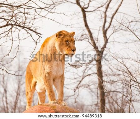 Lion in Captivity - stock photo