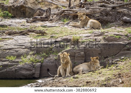 Lion in Kruger national park, South Africa ; Specie Panthera leo family of felidae - stock photo