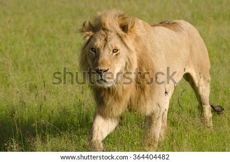 Lion in Masai Mara, Kenya - stock photo