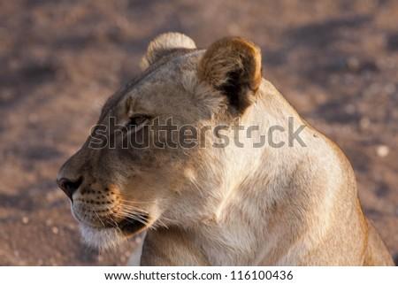 Lion in Mashatu Game Reserve, Botswanna, Africa - stock photo