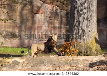 Lion in Nuremberg zoo, Germany - stock photo