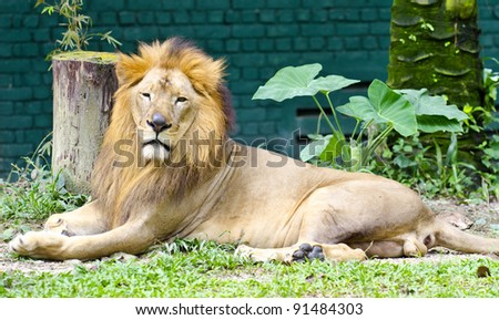 Lion in rest action at Malaysia zoo. - stock photo