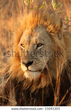 Lion in Sabi Sands Reserve, South Africa - stock photo
