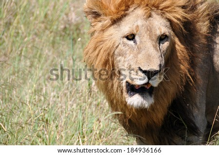 Lion in Serengeti National Park, Tanzania, East-Africa.