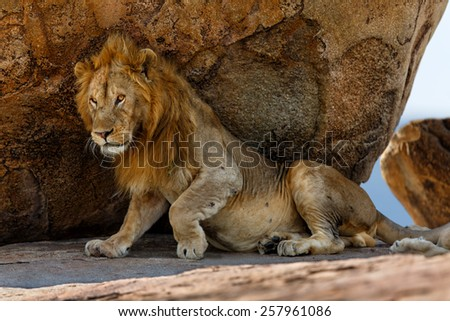 Lion in the shade of a large stone in the Kopjes of the Serengeti, Tanzania - stock photo