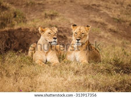 Lion in wildlife Tanzania - stock photo